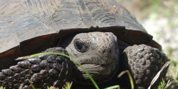 Gopher Tortoise | Florida Fish and Wildlife Conservation Commissin | Wildlife