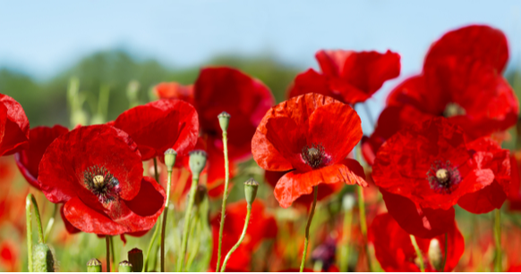 Guest Column On Memorial Day Poppies Are For Remembrance Tampa