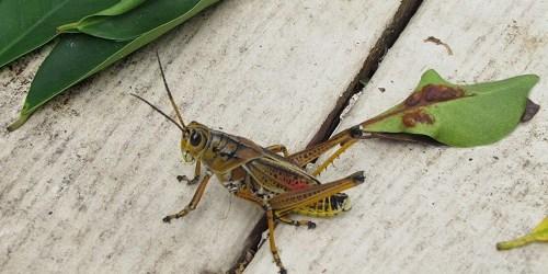 Eastern Lubber grasshopper | Sassy Sandpiper | Gardening