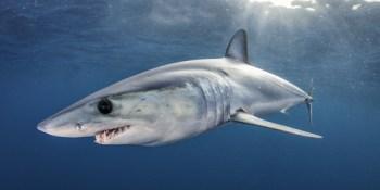 Make Shortfin Shark   FIshing   Sports Recreation