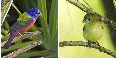 Painted Bunting   FWC   Songbirds