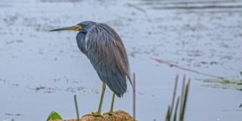 Tricolored Heron | Lake Seminole | TB Reporter