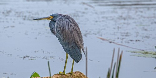 Tricolored Heron | Lake Seminole | TB Reporter