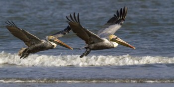 Brown Pelicans | Birds | Animals