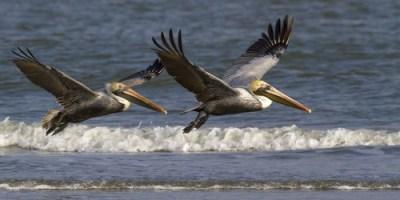 Brown Pelicans   Birds   Animals