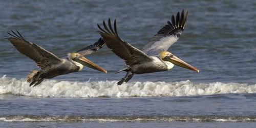 Brown Pelicans | Birds | Animals