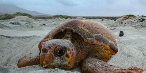 Sea Turtle   Loggerhead Turtle   Turtle Nesting
