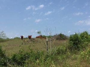 Austin Cow Egrets