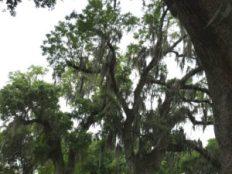 NOLA Oak with ferns