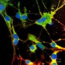 confocal image of neurons - VC.jpg