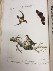 Colibri Red Throats