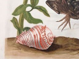 """Detail from Metamorphosis Insectorum Surinamensium (Amsterdam, 1719). """" I had these shells brought up from the bottom of the sea in order to see what kind of creatures live in them"""""""
