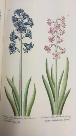Hyacinthus corollis campanulatis, sexpartitis, flore pleno caeruleo, & Hyacinthus non scriptus, flore pleno ex albo rubro variegatus