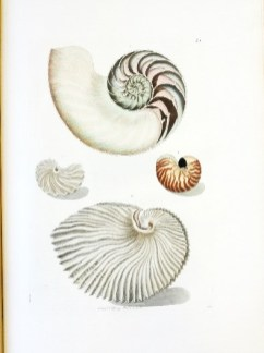 Nautilus shells with a cross-section (top) and the chauve-souris dentée or batwing shell (centre left)