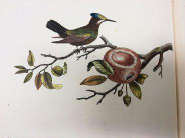 Colibri Hupe female with nest