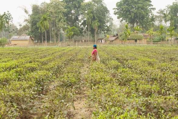 Tea Garden 19