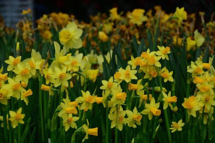 'ดอกนาร์ซีซัส' ดอกไม้ที่สมเด็จย่า ทรงชื่นชอบ