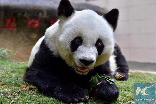 ปาซือ แพนด้ายักษ์ที่แก่สุดในโลกอายุครบ 37 ปีแล้ว!