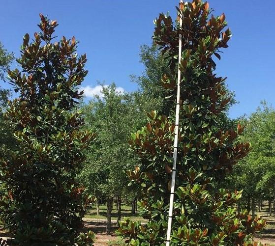 Dd Blanchard Magnolia Tc Tree Farm Inc