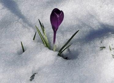 Purple crocus pushing up through the snow
