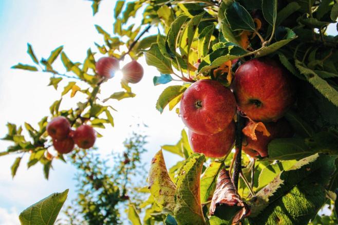 apples-on-apple-tree