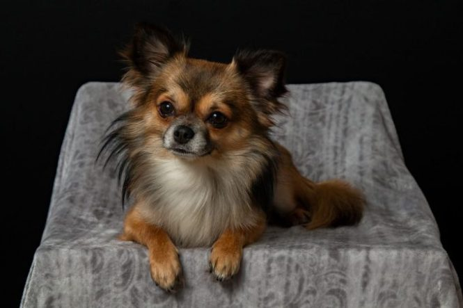 Chihuahua Is One Of The Best Dog For Apartment