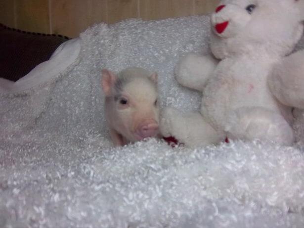 male piglet