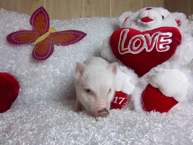 white piglet