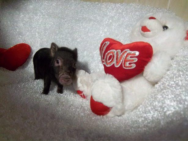 black male micro pig
