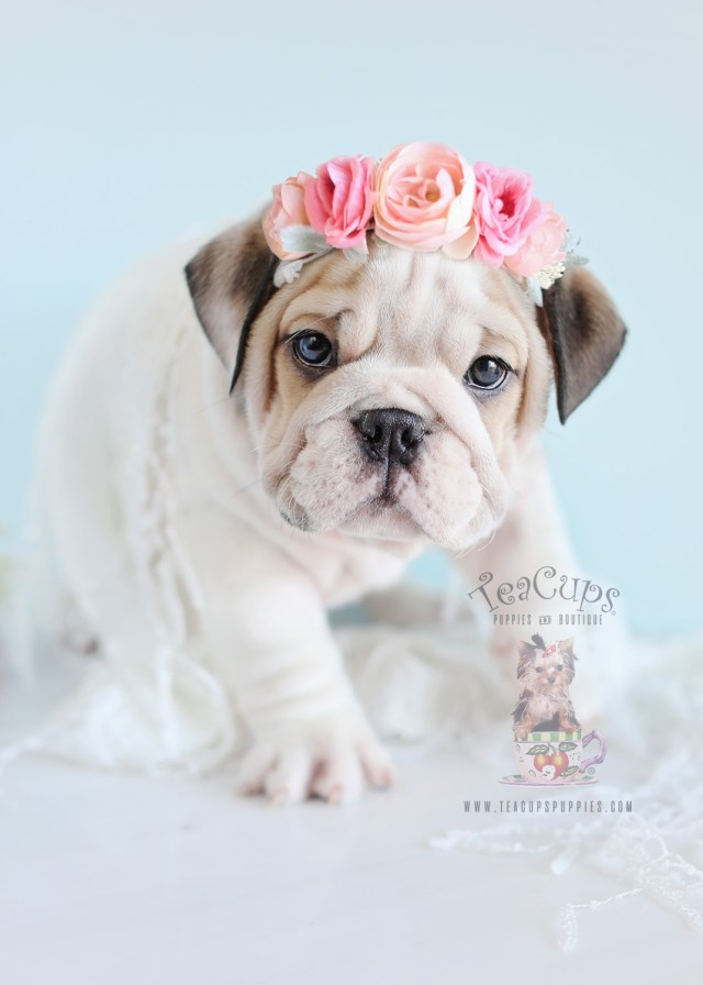english bulldog puppies for sale | teacups, puppies & boutique