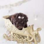Cutest Toy Poodle Puppies Here Teacup Puppies Boutique