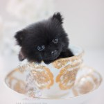 Pomeranian Puppies At Teacups Puppies Teacup Puppies Boutique