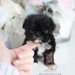 Black Teacup Shih Tzu Puppies