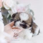 Teacup Puppy Breeds For Sale Teacup Puppies Boutique