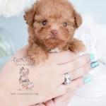 Teacup Puppy Breeds For Sale Teacup Puppies Boutique