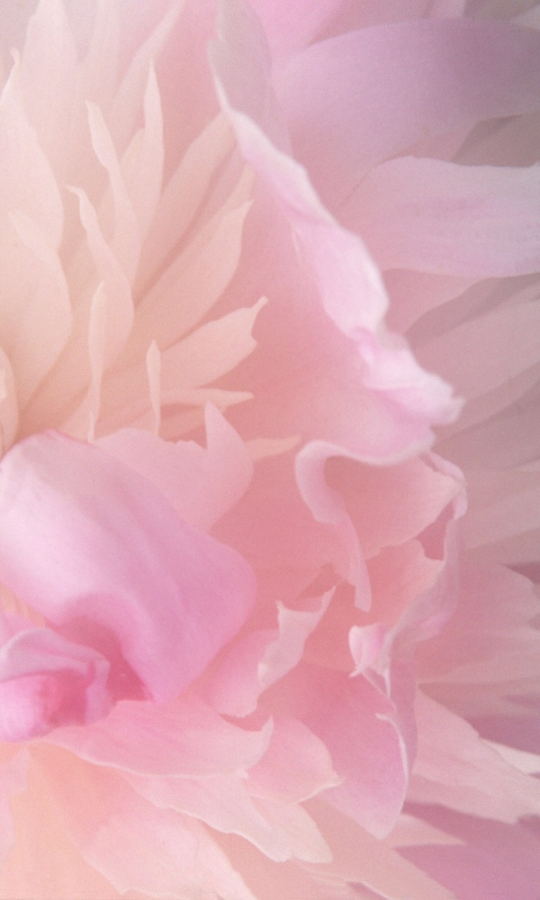Hd Wallpaper Pink Peony Iphone 768x1280 Wallpaper Teahub Io