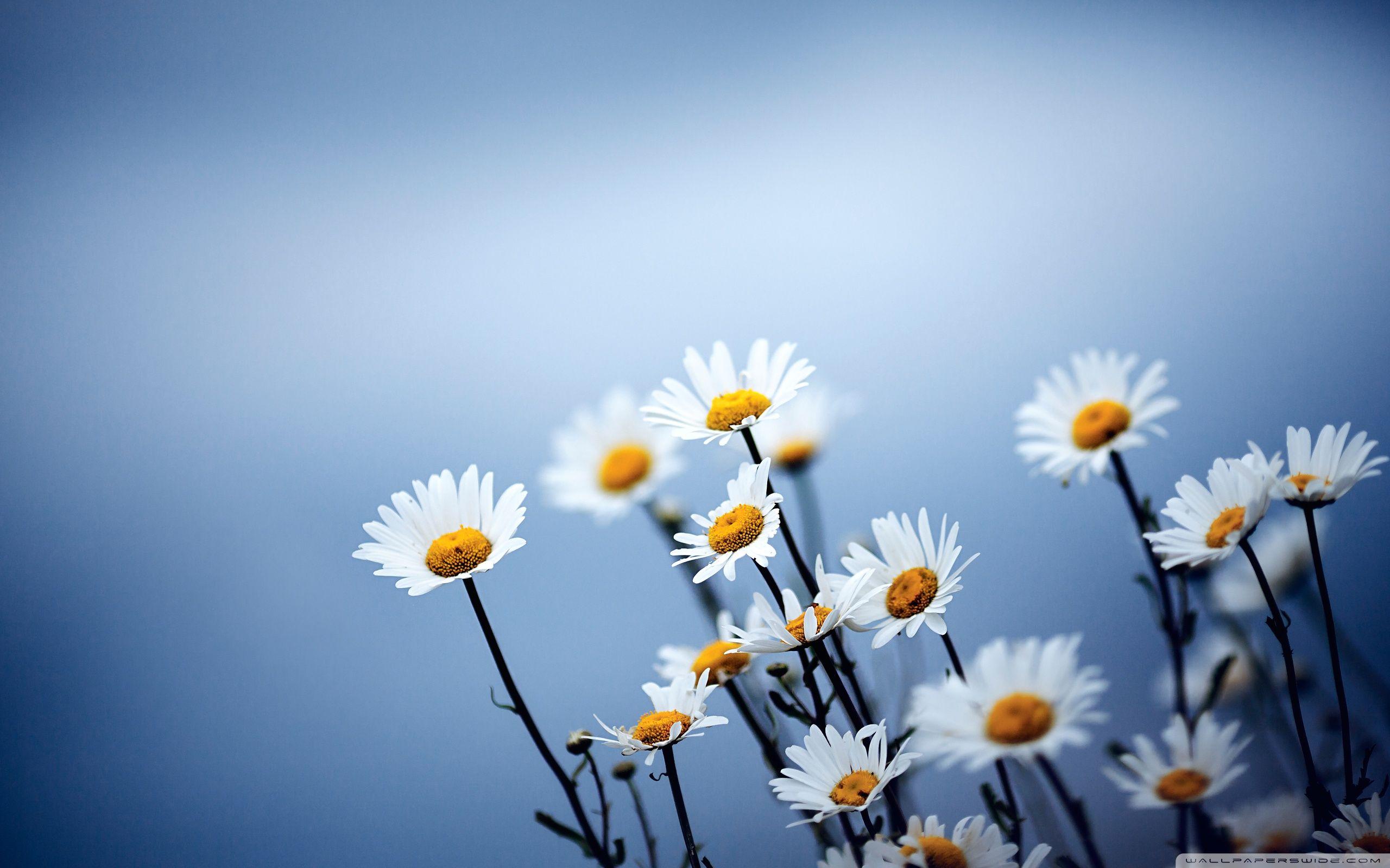 White Daisies Flowers 4k Hd Desktop Wallpaper For Flower Desktop Background 2560x1600 Wallpaper Teahub Io