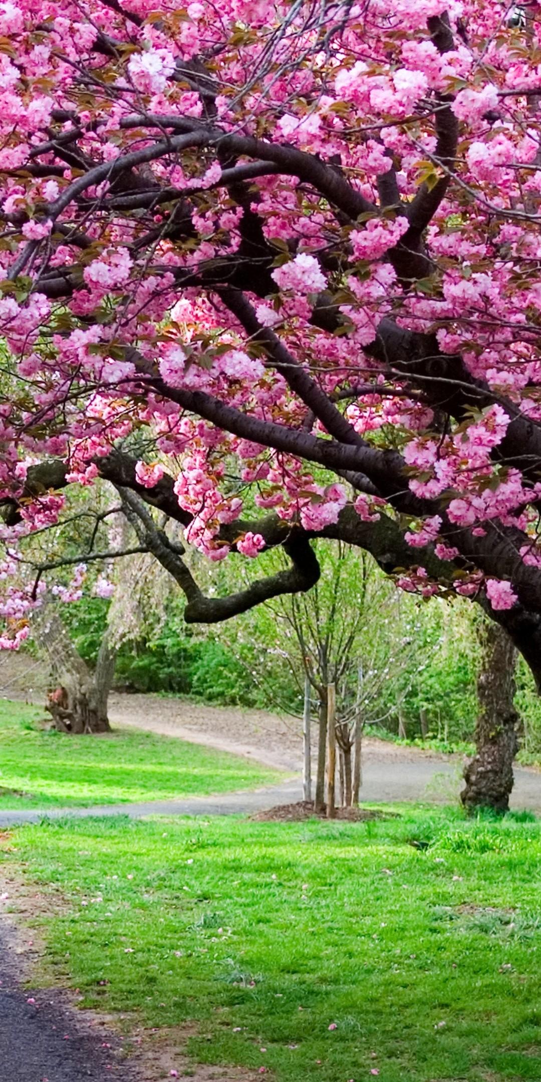 Sakura Ultra Hd Wallpaper Cherry Blossom Wallpaper 4k Phone 1080x2160 Wallpaper Teahub Io