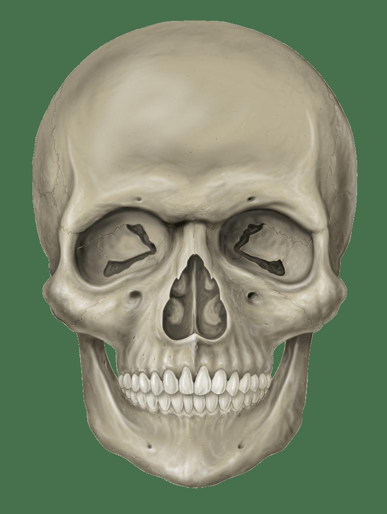 Thumb Image Skeleton Head Png 776x1029 Wallpaper Teahub Io