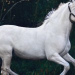 White Horse Images Hd 640x1136 Wallpaper Teahub Io