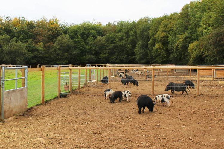 Kew Little Pigs at Old Amersham Farm in Amersham