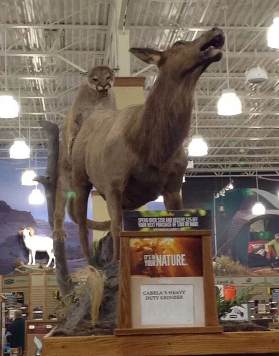 Cabela's, Stuffed mountain lion attacking elk and they look like they're humping ~ You have such a dirty mind