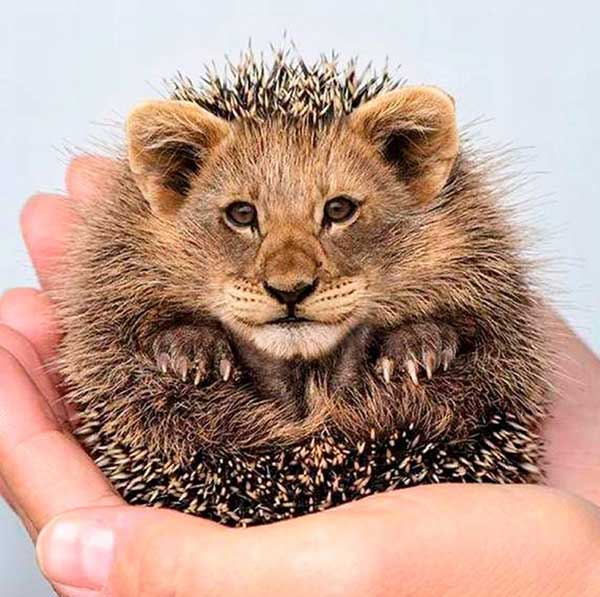 Funny Pics~ hedgehog with lion face