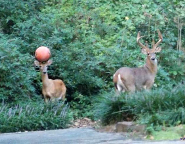 35 Funny Pics ~ deer with ball stuck in antlers