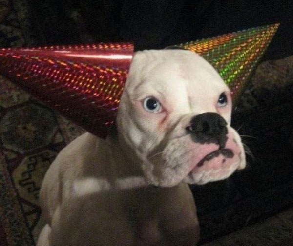 33 Funny Pictures ~ dog party hats ears