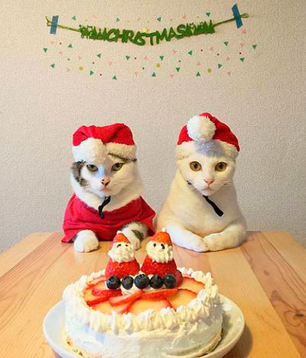 41 Funny Christmas Photos ~ Cats at table portrait