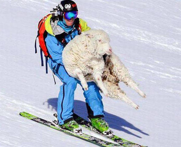 Funny guy snowboarding with sheep