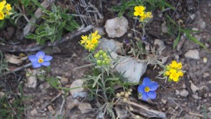 photo of Blue Gilia and Low Bladderpod