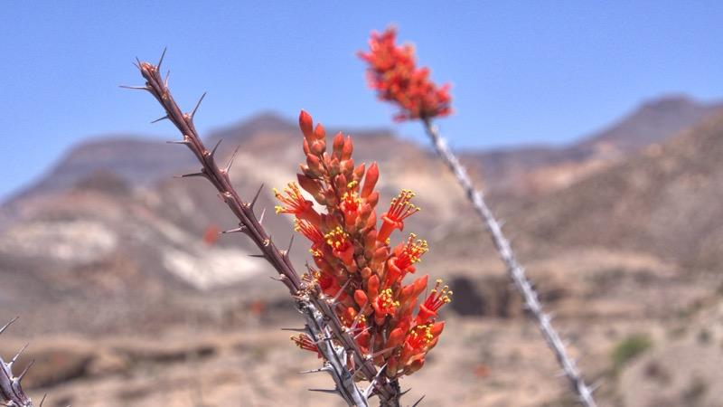 photo of Ocotillo (Fouquieria splendens)