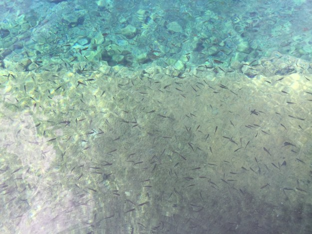 photo of the Comanche Spring Pupfish in Balmorhea pool